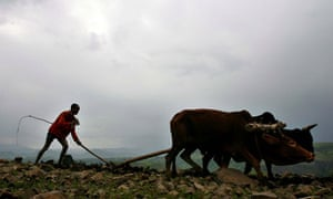 MDG : Ethiopia : Small farmer uses cows to plough