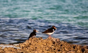 Country Diary : Oystercatchers on rocks by sea at the shoreline Sutherland, Scotland