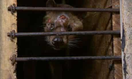 Shot was taken on a civet farm just outside Surabaya, Indonesia