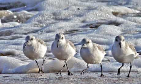 Country Diary : sanderlings dashed forward to retrieve food morsels
