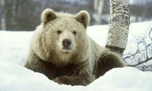 Monbiot blog :  European brown bear on snow in Norway