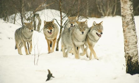 Monbiot blog : A pack of Timber Wolves (wolf) wandering in snowy birch forest of  Norway
