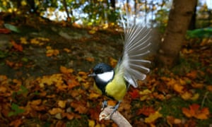 Great tit landing on a branch