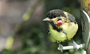reat tit with avian pox
