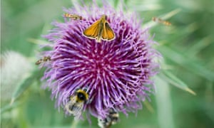 Small skipper butterfly with bees and bubblebees on a Thistle in the English countryside