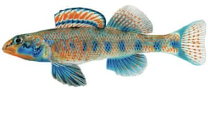 Etheostoma obama, a new species described by Mayden and Layman