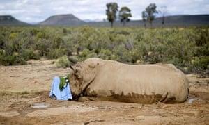 Rhino poaching in South Africa : A badly injured white rhino