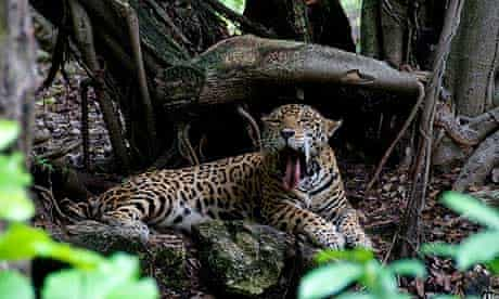A spotted jaguar, symbol of Mayan royalty, lies in the shade on a hot jungle day