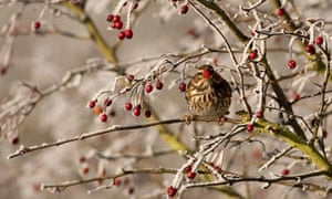 Country Diary : The Redwing