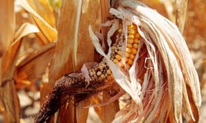 MDG : Food price : Corn plants are seen in a drought-stricken farm field near Evansville, Indiana