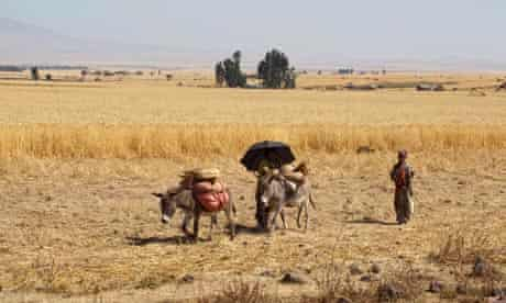 MDG : Cereals in Ethiopia : partially harvested cereal fields