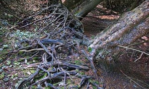 Country Diary : Yew Tree roots in Kingley Vale National Nature Reserve