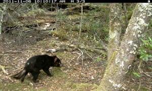 Tasmanian devil caught on motion-sensitive camera
