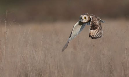 Country Diary : Short Eared Owl