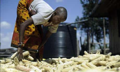 MDG : Agriculture in Africa : farmer sun-dries maize harvest