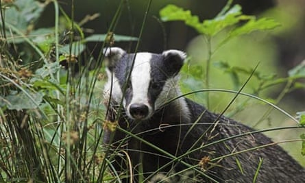 Badgers can carry bovine tuberculosis