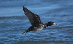Male Black Scoter in flight over the ocean