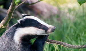 Badger out hunting