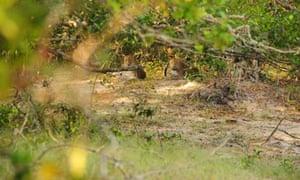Leopards in  Wilpattu National park, Sri Lanka