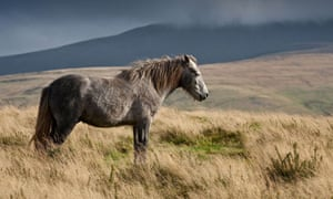 Country Diary : Grey Welsh Mountain Pony On Mountainside