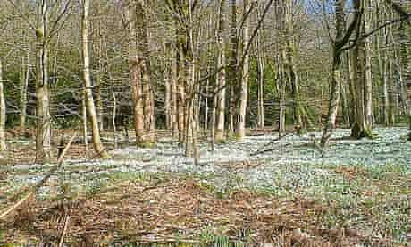 Country Diary : Snowdrops at Otterhead estate