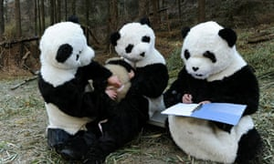Examination of a giant panda  in Wolong Nature Reserve , China