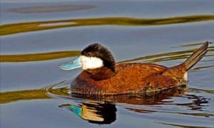 a513e25cd17 Final 100 ruddy ducks in the UK facing extermination | Environment ...