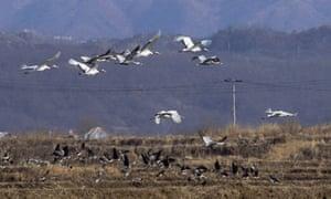 Wildlife in Korean Demilitarized Zone , DMZ : Manchurian cranes