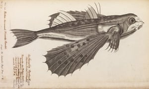 The Royal Society : engraving of a flying fish from Historia Piscium