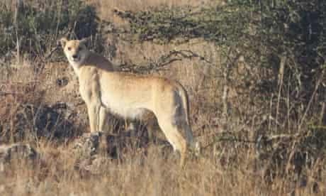 Cheetah - Acinonyx jubatus - Page 2 - Carnivora