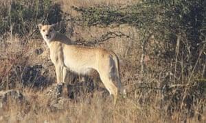 a spotless cheetah at the Athi Kapiti Conservancy in Kenya