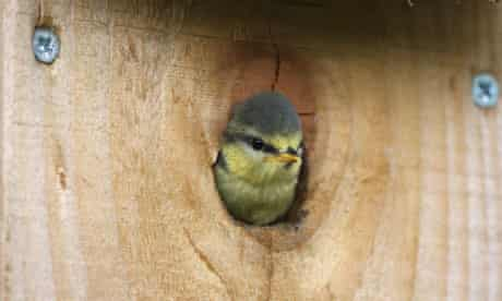 Country Diary : Blue Tit emerging from nest box