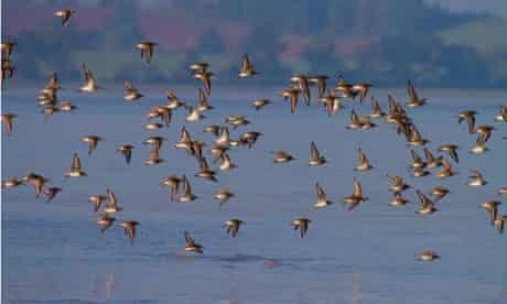 Leo Blog : A mixed flock of wading birdsover the Severn estuary
