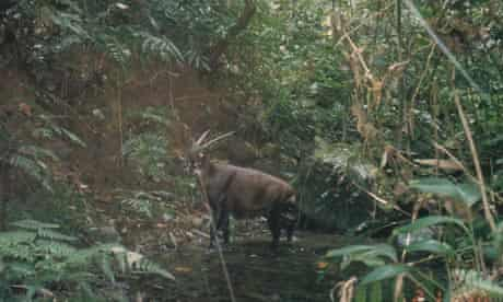Wild saola caught on a camera-trapped in Bolikhamxay Province, central Laos