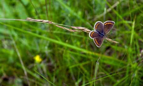 Brown Argus, Aricia agestis butterfly, roosting on grass