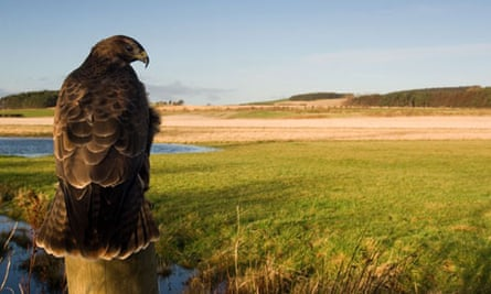 Intimate wide angle portrait of common buzzard, Northumberland