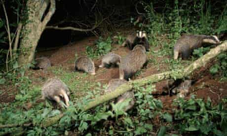 Group of badgers (Meles meles) foraging at night, in woodland of Devon