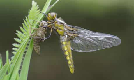 Damselfly and dragonfly in Britain : Adult female Broad-bodied Chaser, Libellula depressa,