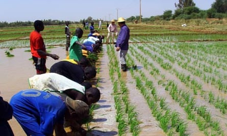 MDG : China in Africa : Rice seeding transplant training with Chinese agricultural experts , Senegal