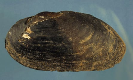 A freshwater pearl mussel