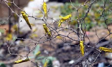 MDG : Desert locusts just came on thorns in Yoff, near Dakar Senegal