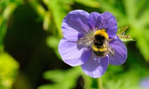 Country Diary : Bumblebee feeding on geranium flower, Oxfordshire, UK.