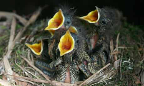 Baby sparrows cry out from a nest in Russia's city of Vladikavkaz