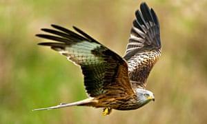 Country Diary : Red Kite