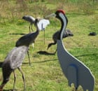 Great Crane Project at WWT reserve of  Slimbridge