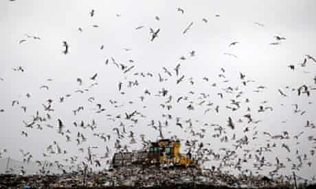 Ban food waste from Landfill : Seagulls fly around as a bulldozer compacts freshly dumped rubbish