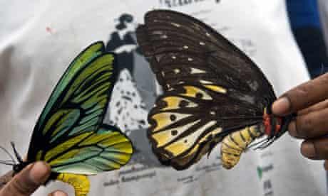 Queen Alexandra Birdwind butterflies