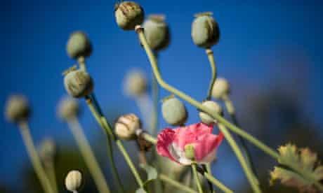 MDG : Opium in Myanmar : Poppies grow in a field outside Mong La in the Shan State