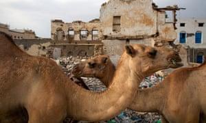 MDG : Camels in Berbera, Somaliland, northern Somalia