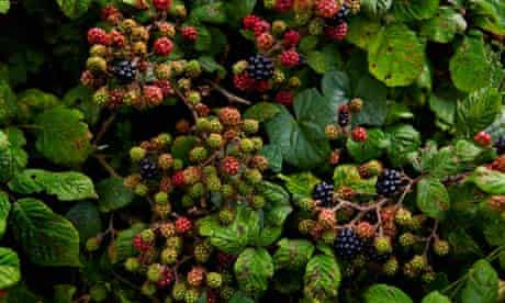 Report on wild trees and berries : Blackberries ripening in a hedgerow